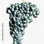 pavana vitigno