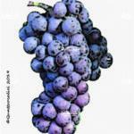 pinot grigio vitigno