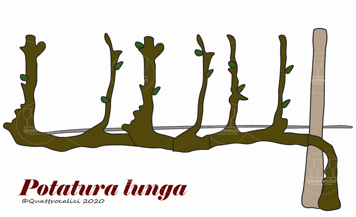 potatura lunga vite