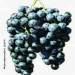 saint laurent vitigno