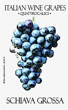 schiava grossa vitigno