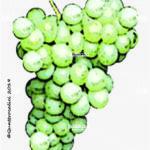 sciaglin vitigno