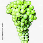 semillon vitigno