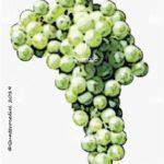 timorasso vitigno