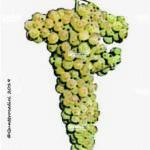 trebbiano giallo vitigno