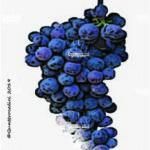 uva di troia vitigno