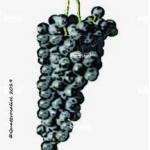 vespolina vitigno
