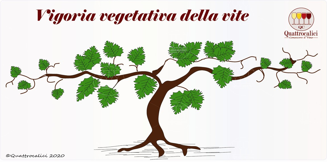 vigoria vegetativa della vite