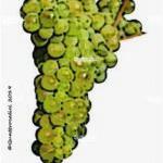 viognier vitigno