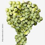 dorona vitigno